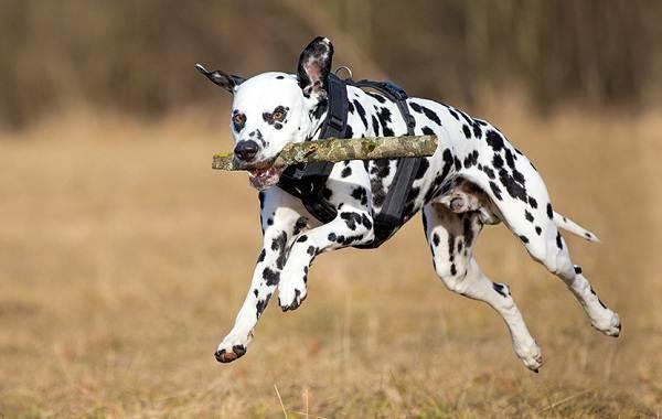 Далматинец-собака-Описание-особенности-виды-уход-и-цена-породы-далматинец-11