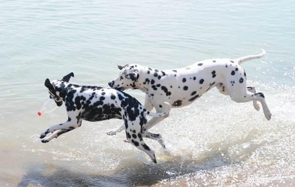 Далматинец-собака-Описание-особенности-виды-уход-и-цена-породы-далматинец-12