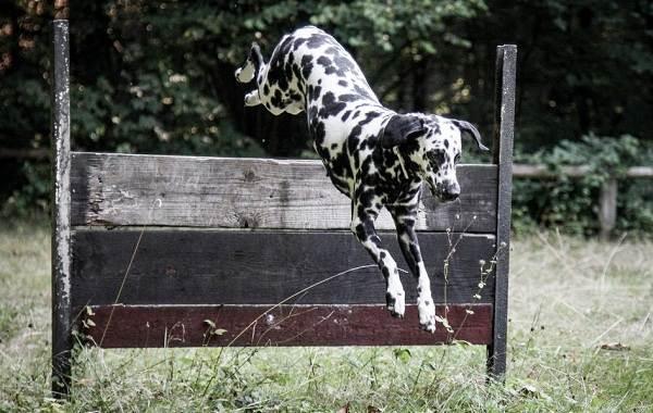 Далматинец-собака-Описание-особенности-виды-уход-и-цена-породы-далматинец-13