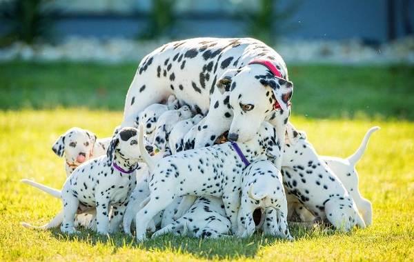 Далматинец-собака-Описание-особенности-виды-уход-и-цена-породы-далматинец-15