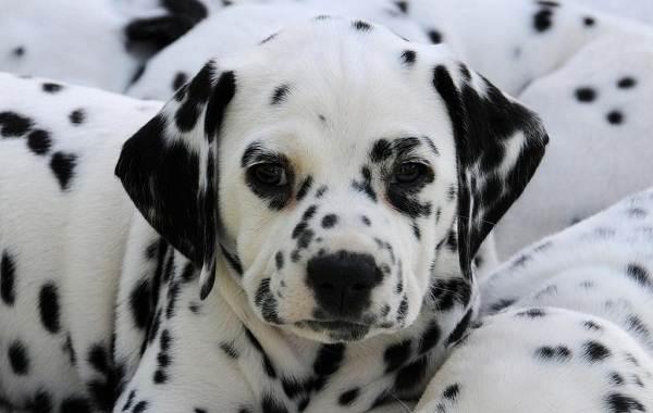 Далматинец-собака-Описание-особенности-виды-уход-и-цена-породы-далматинец-16