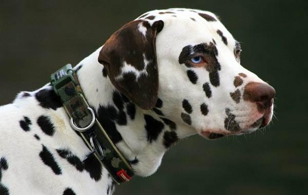 Далматинец-собака-Описание-особенности-виды-уход-и-цена-породы-далматинец-2