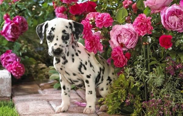 Далматинец-собака-Описание-особенности-виды-уход-и-цена-породы-далматинец-3