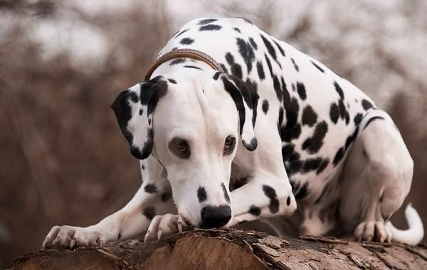 Далматинец-собака-Описание-особенности-виды-уход-и-цена-породы-далматинец-5