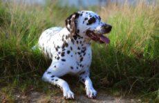 Далматинец собака. Описание, особенности, виды, уход и цена породы далматинец