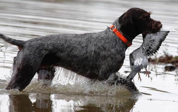 Дратхаар-собака-Описание-особенности-виды-цена-и-уход-за-породой-дратхаар-11