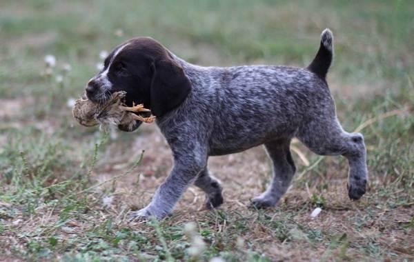 Дратхаар-собака-Описание-особенности-виды-цена-и-уход-за-породой-дратхаар-13
