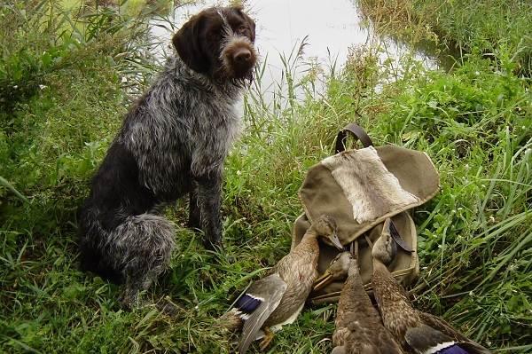 Дратхаар-собака-Описание-особенности-виды-цена-и-уход-за-породой-дратхаар-17