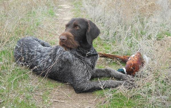 Дратхаар-собака-Описание-особенности-виды-цена-и-уход-за-породой-дратхаар-18