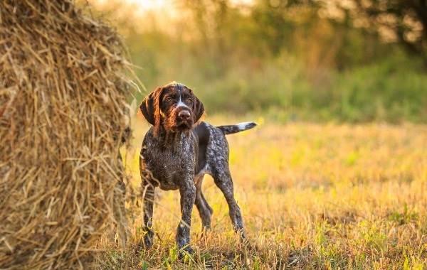 Дратхаар-собака-Описание-особенности-виды-цена-и-уход-за-породой-дратхаар-19