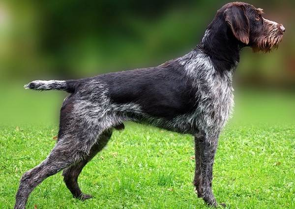 Дратхаар-собака-Описание-особенности-виды-цена-и-уход-за-породой-дратхаар-20