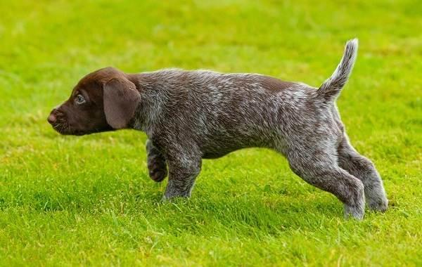 Дратхаар-собака-Описание-особенности-виды-цена-и-уход-за-породой-дратхаар-3