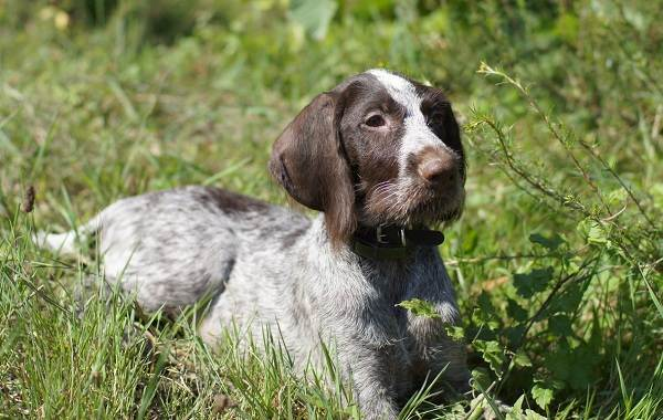 Дратхаар-собака-Описание-особенности-виды-цена-и-уход-за-породой-дратхаар-4