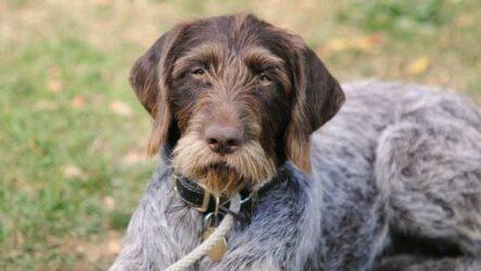 Дратхаар собака. Описание, особенности, виды, цена и уход за породой дратхаар
