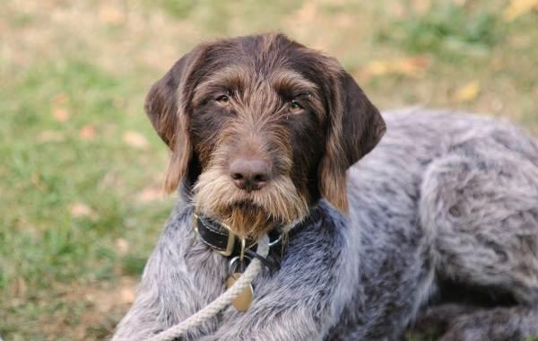 Дратхаар-собака-Описание-особенности-виды-цена-и-уход-за-породой-дратхаар-7