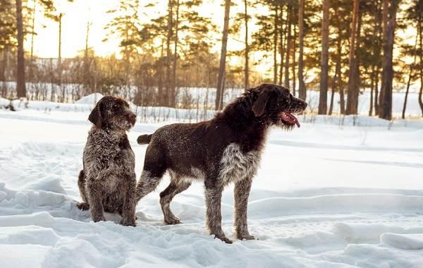 Дратхаар-собака-Описание-особенности-виды-цена-и-уход-за-породой-дратхаар-8