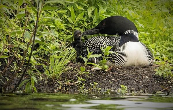 Гагара-птица-Описание-особенности-виды-образ-жизни-и-среда-обитания-гагары-17
