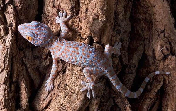 Геккон-животное-Описание-особенности-виды-образ-жизни-и-среда-обитания-геккона-1
