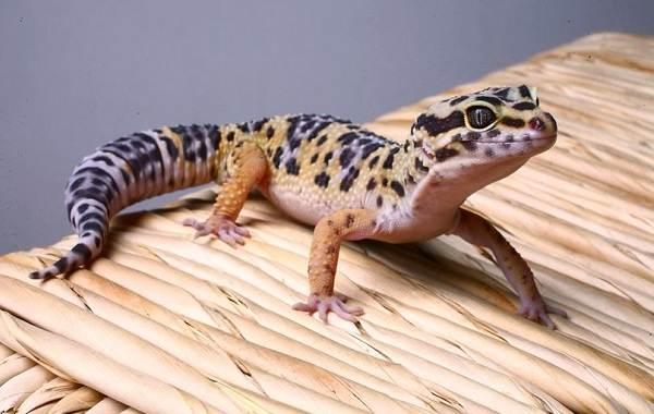 Геккон-животное-Описание-особенности-виды-образ-жизни-и-среда-обитания-геккона-10