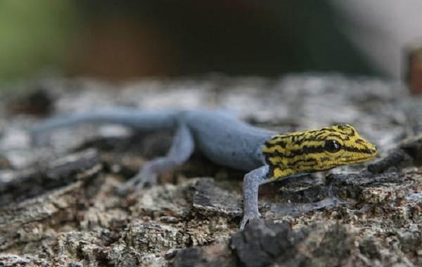 Геккон-животное-Описание-особенности-виды-образ-жизни-и-среда-обитания-геккона-11