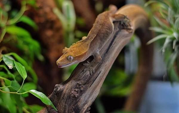 Геккон-животное-Описание-особенности-виды-образ-жизни-и-среда-обитания-геккона-12
