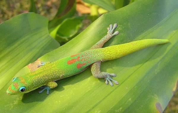 Геккон-животное-Описание-особенности-виды-образ-жизни-и-среда-обитания-геккона-13