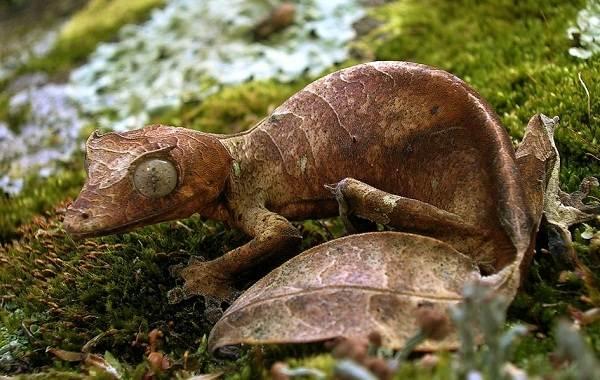 Геккон-животное-Описание-особенности-виды-образ-жизни-и-среда-обитания-геккона-14