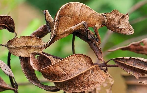Геккон-животное-Описание-особенности-виды-образ-жизни-и-среда-обитания-геккона-15