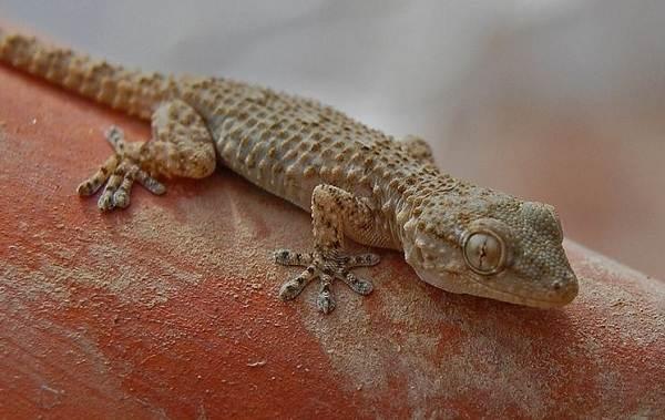 Геккон-животное-Описание-особенности-виды-образ-жизни-и-среда-обитания-геккона-16