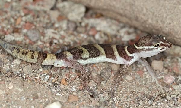 Геккон-животное-Описание-особенности-виды-образ-жизни-и-среда-обитания-геккона-17
