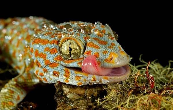 Геккон-животное-Описание-особенности-виды-образ-жизни-и-среда-обитания-геккона-18