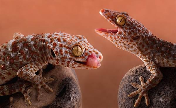 Геккон-животное-Описание-особенности-виды-образ-жизни-и-среда-обитания-геккона-19