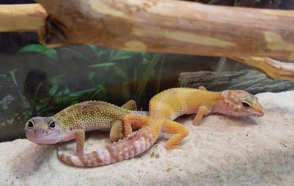 Геккон-животное-Описание-особенности-виды-образ-жизни-и-среда-обитания-геккона-22