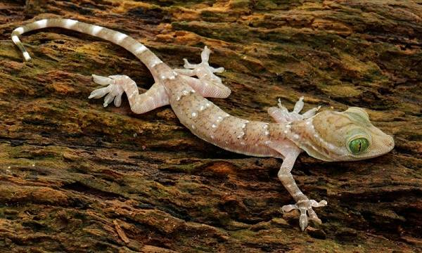 Геккон-животное-Описание-особенности-виды-образ-жизни-и-среда-обитания-геккона-3