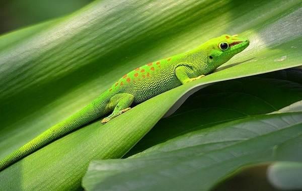 Геккон-животное-Описание-особенности-виды-образ-жизни-и-среда-обитания-геккона-4