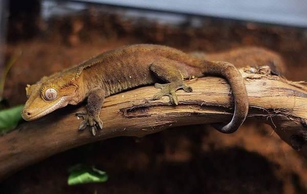 Геккон-животное-Описание-особенности-виды-образ-жизни-и-среда-обитания-геккона-5