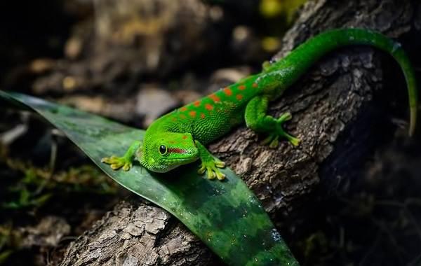 Геккон-животное-Описание-особенности-виды-образ-жизни-и-среда-обитания-геккона-6