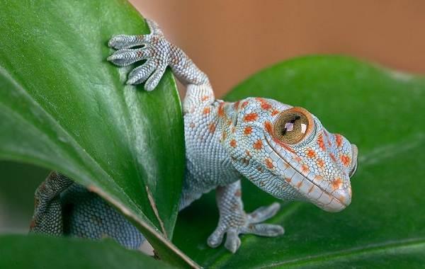 Геккон-животное-Описание-особенности-виды-образ-жизни-и-среда-обитания-геккона-8