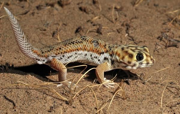 Геккон-животное-Описание-особенности-виды-образ-жизни-и-среда-обитания-геккона-9