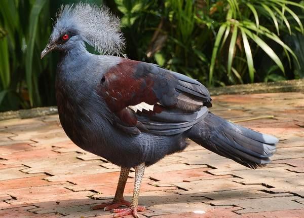 Голубь-птица-Описание-особенности-виды-образ-жизни-и-среда-обитания-голубя-1