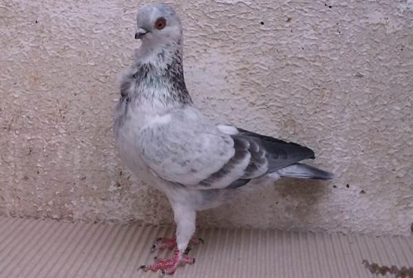 Голубь-птица-Описание-особенности-виды-образ-жизни-и-среда-обитания-голубя-10