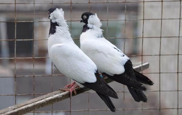 Голубь-птица-Описание-особенности-виды-образ-жизни-и-среда-обитания-голубя-12