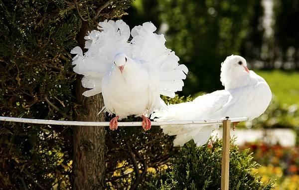 Голубь-птица-Описание-особенности-виды-образ-жизни-и-среда-обитания-голубя-13