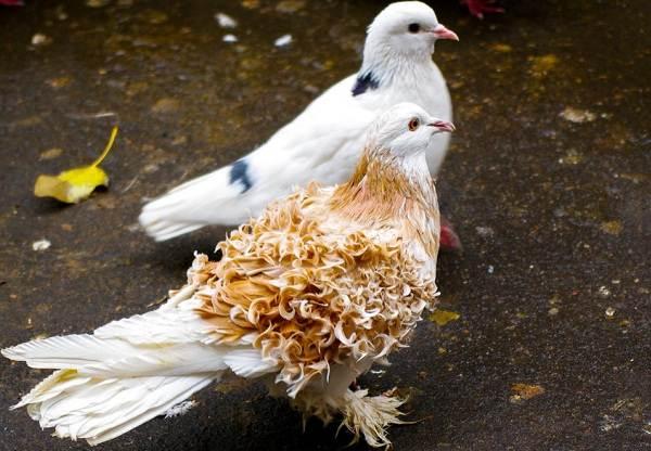 Голубь-птица-Описание-особенности-виды-образ-жизни-и-среда-обитания-голубя-14