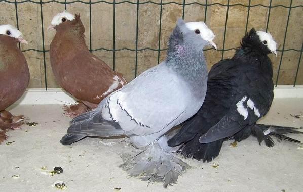 Голубь-птица-Описание-особенности-виды-образ-жизни-и-среда-обитания-голубя-15