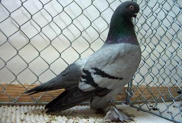 Голубь-птица-Описание-особенности-виды-образ-жизни-и-среда-обитания-голубя-16
