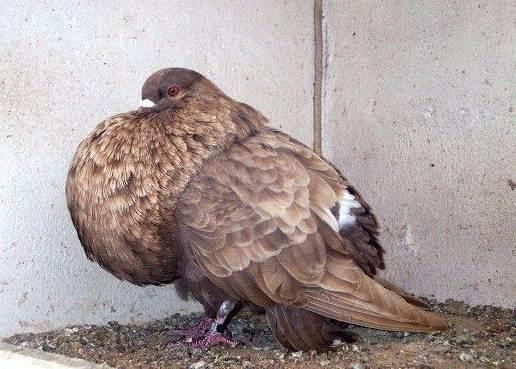 Голубь-птица-Описание-особенности-виды-образ-жизни-и-среда-обитания-голубя-17