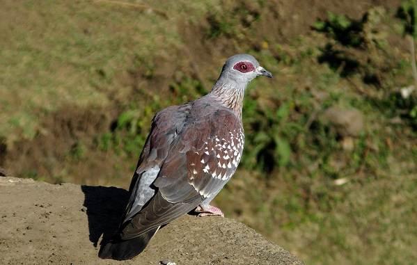 Голубь-птица-Описание-особенности-виды-образ-жизни-и-среда-обитания-голубя-18