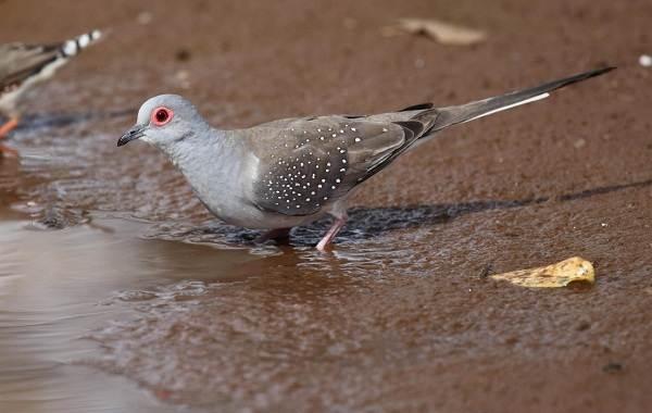 Голубь-птица-Описание-особенности-виды-образ-жизни-и-среда-обитания-голубя-2