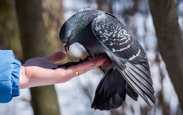 Голубь-птица-Описание-особенности-виды-образ-жизни-и-среда-обитания-голубя-20